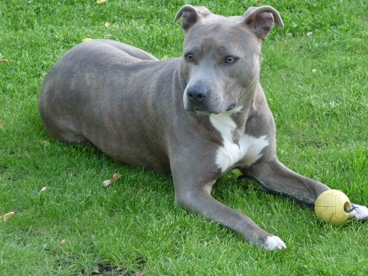1280px-American_Staffordshire_Terrier(Cleo)
