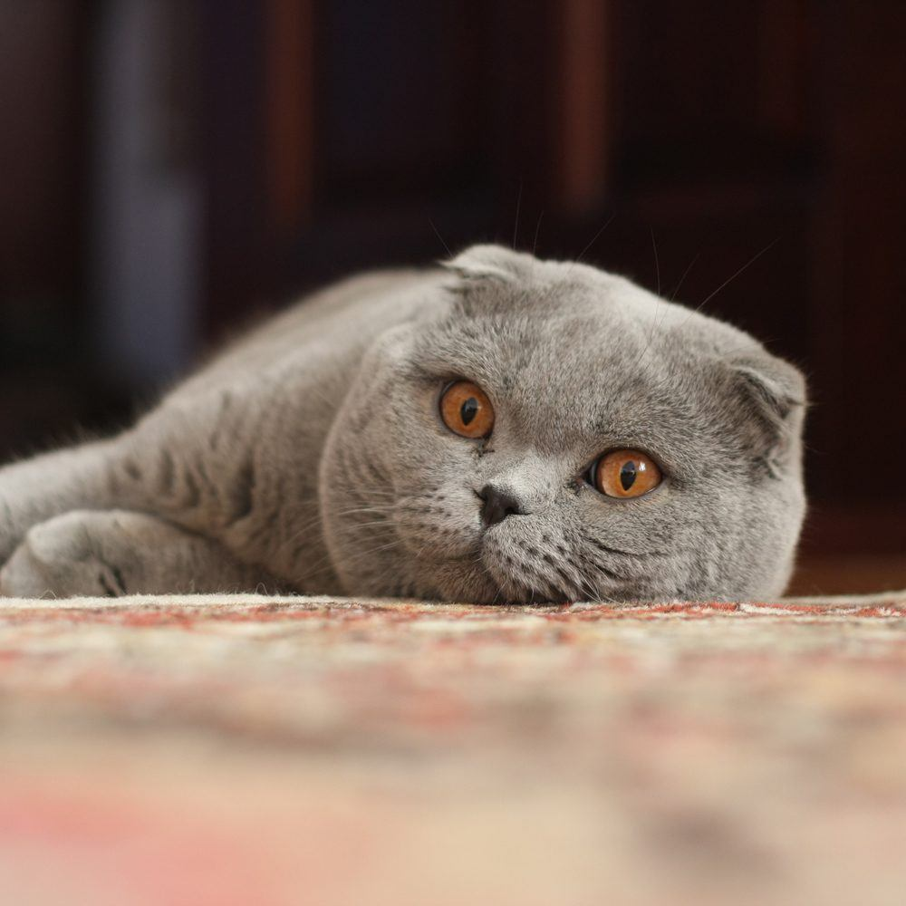 """Adult Scottish Fold"" by Psihopat - Own work. Licensed under CC BY-SA 3.0 via Wikimedia Commons"