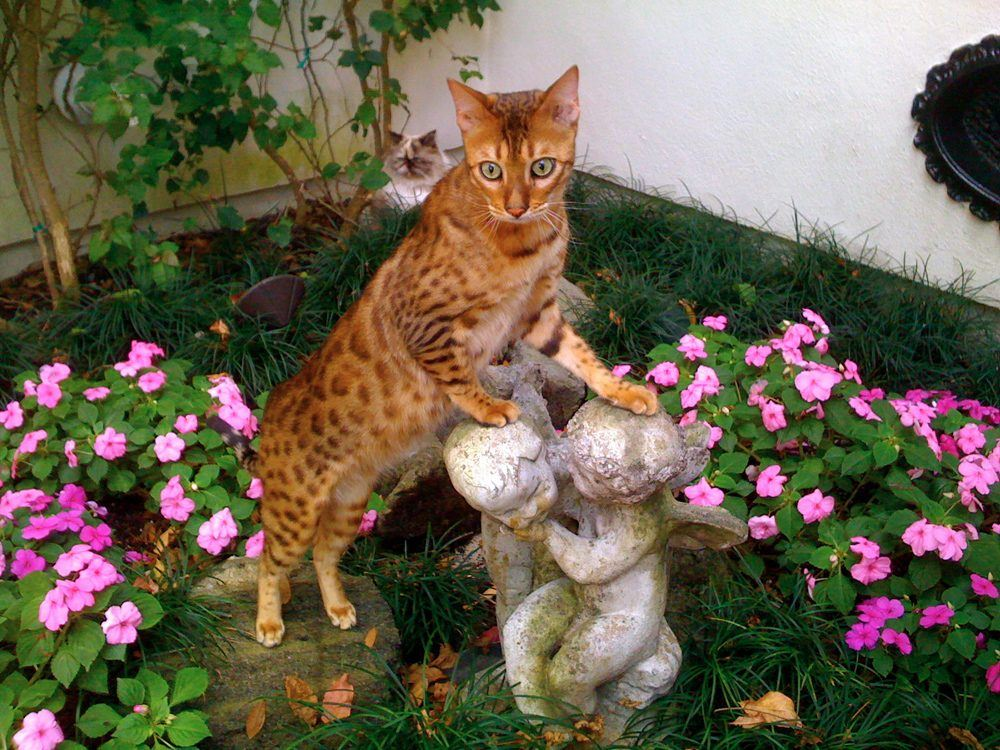 Bangie_the_Bengal_Cat