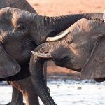 Heartwarming: Elephants Console Each Other