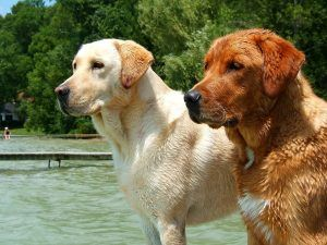 Labrador_Retrievers_yellow_and_red