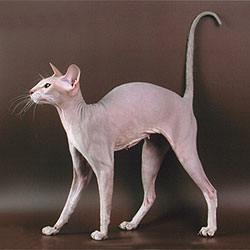 """Tamila the lilac tabby Peterbald cat"" by Peterbald - en wikipedia. Licensed under Public Domain via Wikimedia Commons"