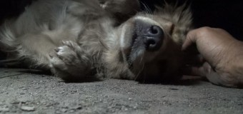 Caught on Camera: Golden Retriever's Heartwarming Rescue in California