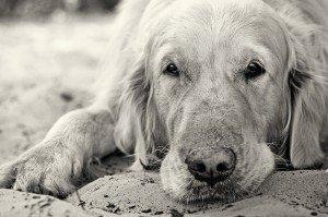 Portrait of golden retriever dog close up