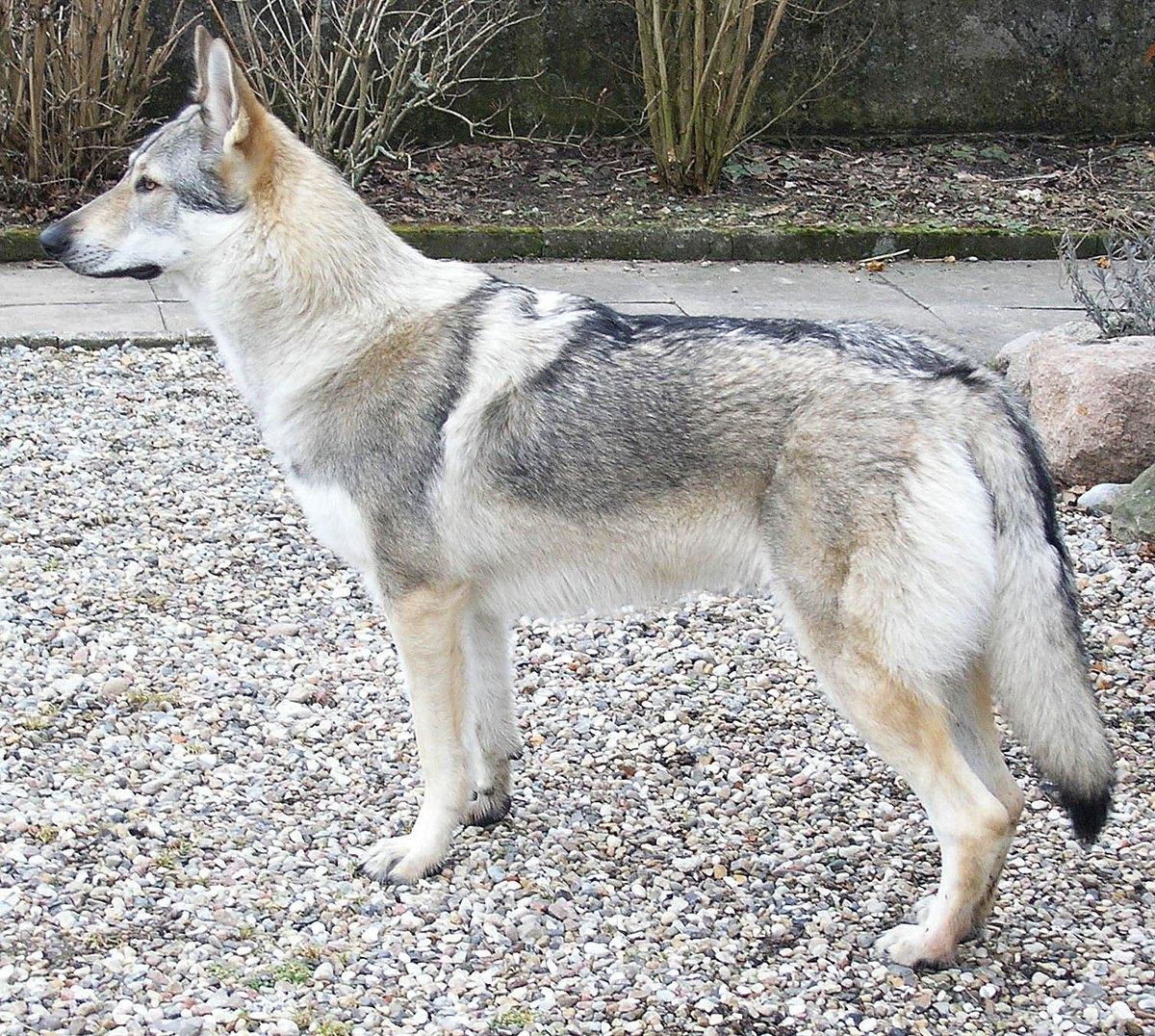 Czechoslovakian-wolfdog-profile big.jpg