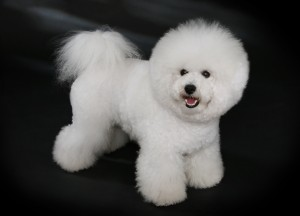 """Bichon Frisé - studdogbichon"" by Heike Andres - Own work. Licensed under CC BY-SA 3.0 de via Commons - https://commons.wikimedia.org/wiki/File:Bichon_Fris%C3%A9_-_studdogbichon.jpg#/media/File:Bichon_Fris%C3%A9_-_studdogbichon.jpg"