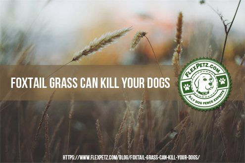 Foxtail Grass Can Kill Your Dogs