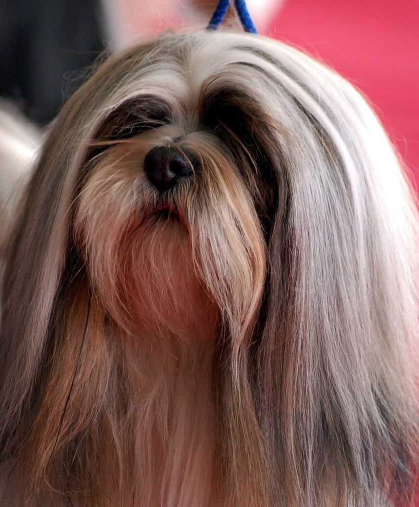 """Lhasa apso portret"" by Lilly M - za zgodą mojej znajomej - wikipedystki. Licensed under CC BY-SA 3.0 via Commons - https://commons.wikimedia.org/wiki/File:Lhasa_apso_portret.jpg#/media/File:Lhasa_apso_portret.jpg"