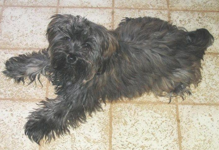 """""""Yorkipoo"""" by Dragonfly47 at en.wikipedia. Licensed under CC BY 2.5 via Commons - https://commons.wikimedia.org/wiki/File:Yorkipoo.jpg#/media/File:Yorkipoo.jpg"""