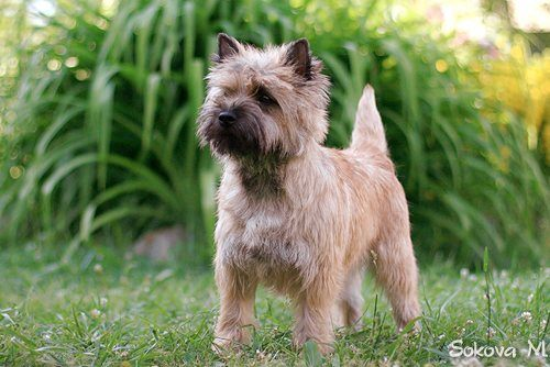 """""""Керн терьер (cairn terrier)"""" by Solazar - Own work. Licensed under CC BY-SA 3.0 via Commons - https://commons.wikimedia.org/wiki/File:%D0%9A%D0%B5%D1%80%D0%BD_%D1%82%D0%B5%D1%80%D1%8C%D0%B5%D1%80_(cairn_terrier).jpg#/media/File:%D0%9A%D0%B5%D1%80%D0%BD_%D1%82%D0%B5%D1%80%D1%8C%D0%B5%D1%80_(cairn_terrier).jpg"""