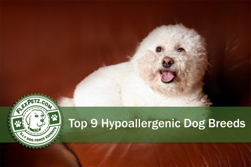 Top 9 Hypoallergenic Dog Breeds