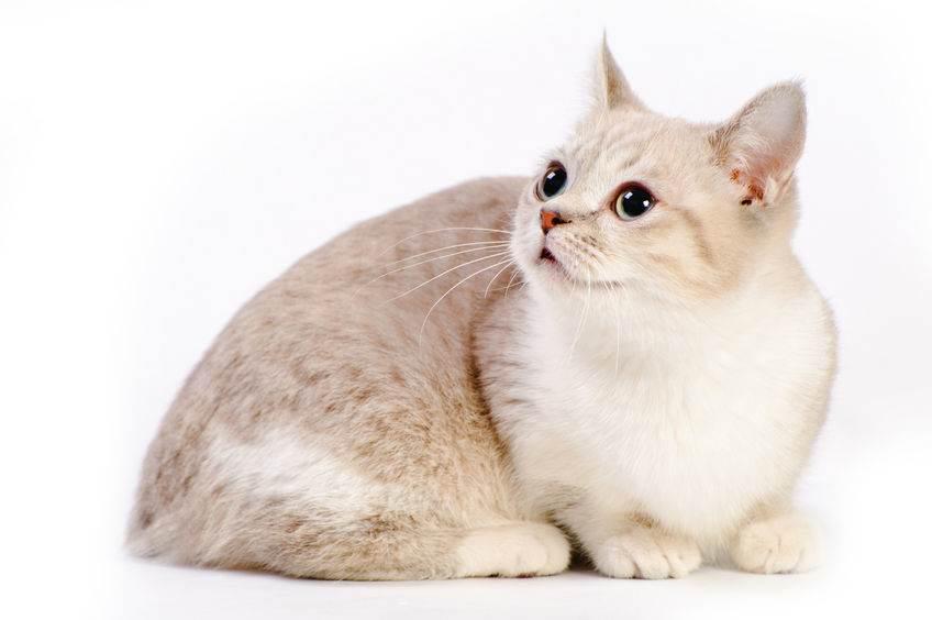 beautiful munchkin cat