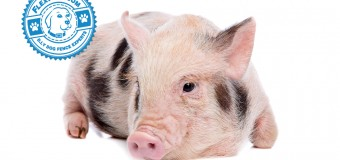 The Truth About Teacup Pigs