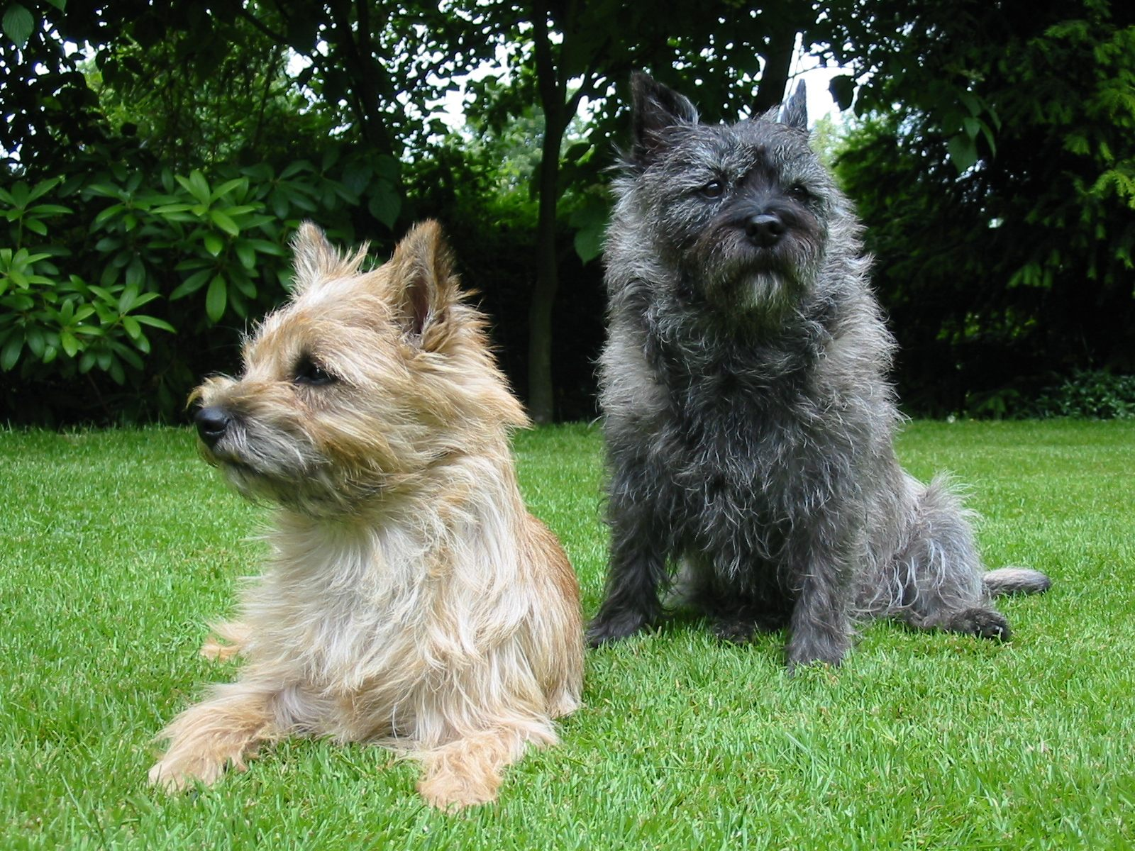 """""""Cairn-Terrier-Garten1"""" by Ketterechts at the German language Wikipedia. Licensed under CC BY-SA 3.0 via Commons - https://commons.wikimedia.org/wiki/File:Cairn-Terrier-Garten1.jpg#/media/File:Cairn-Terrier-Garten1.jpg"""