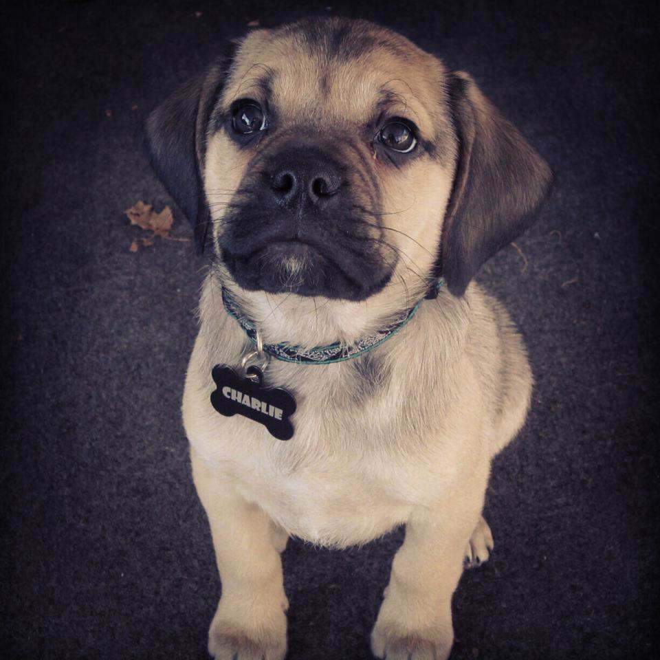 """""""Charlie the Puggle"""" by MelissaShankman - When we took a picture of our puggle puppy in our homePreviously published: http://www.facebook.com/photo.php?fbid=10151434415898057&set=a.10150481918213057.387371.502523056&type=1&theater. Licensed under CC BY-SA 3.0 via Commons - https://commons.wikimedia.org/wiki/File:Charlie_the_Puggle.jpg#/media/File:Charlie_the_Puggle.jpg"""