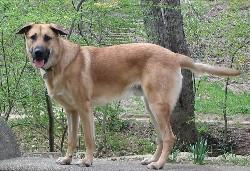 """Mountan Laurel Ajax the Chinook dog"". Licensed under Copyrighted free use via Commons - https://commons.wikimedia.org/wiki/File:Mountan_Laurel_Ajax_the_Chinook_dog.jpg#/media/File:Mountan_Laurel_Ajax_the_Chinook_dog.jpg"