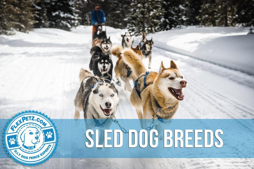 sled dog breeds article