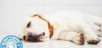 Belly Bloat in Dogs