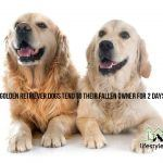 2 Golden Retriever Dogs Tend to Their Fallen Owner for 2 Days