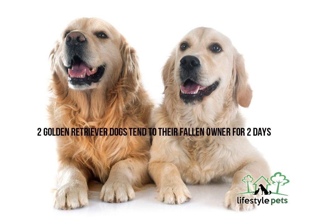 golden-retriever-1