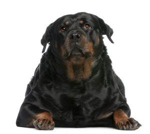 11567969 - fat rottweiler, 3 years old, lying in front of white background