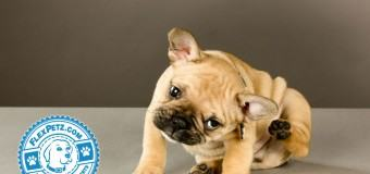 Causes, Symptoms, Treatment, & Prevention of Fleas on Dogs