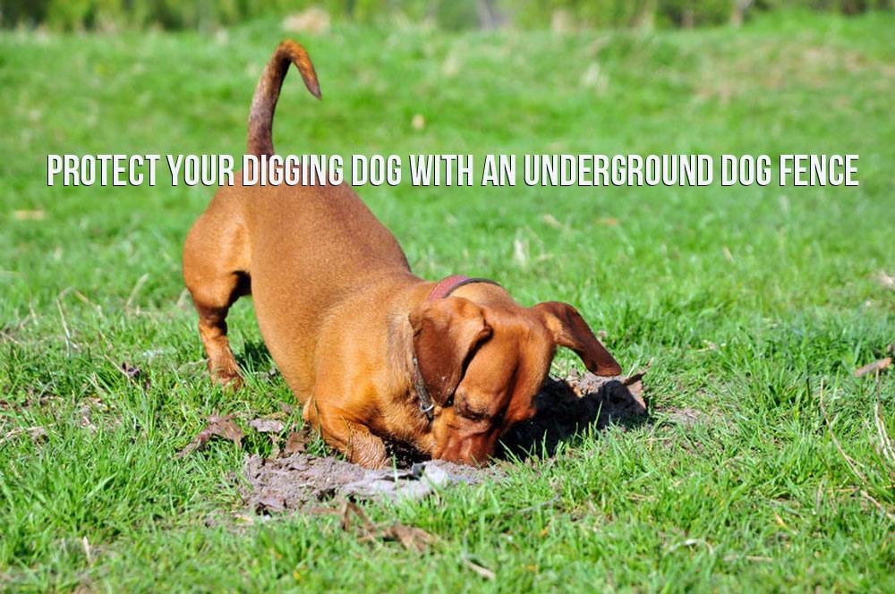 Protect Your Digging Dog With An Underground Dog Fence