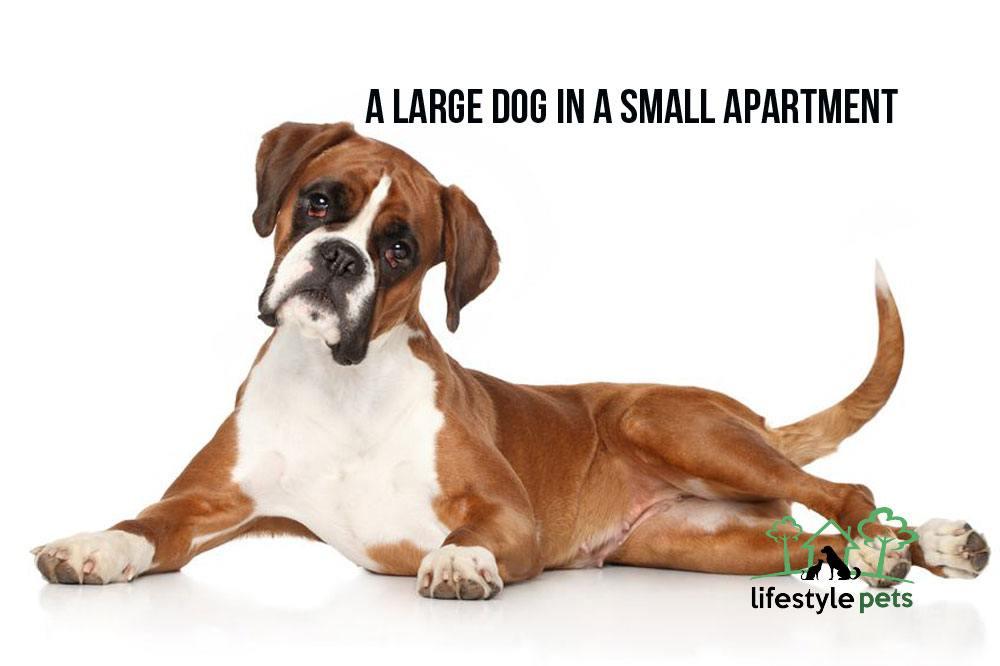 largedog1