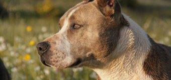 The Pitbull Dog