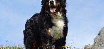 Discovering the Bernese Mountain Dog