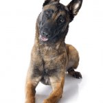 Belgian Malinois at a Glance