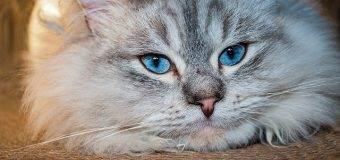 Do Hypoallergenic Cats Exist?