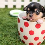 Portraits in Cuteness: The Teacup Dog