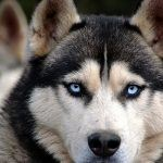 All You need to Know about Siberian Huskies