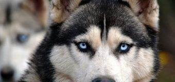 How to Make Snow Dogs Comfortable in Tropical Countries