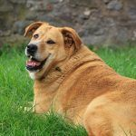 The Overweight Dog: Causes, Risks, & Ways to Combat It