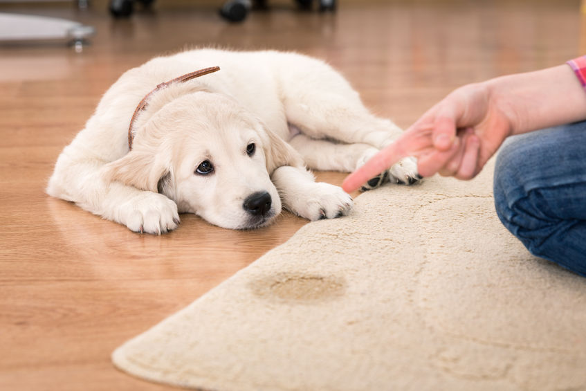 dog wetting bed but not urine