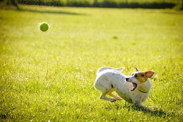 A dog playing with a tennis ball