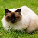 The Unique Himalayan Cat