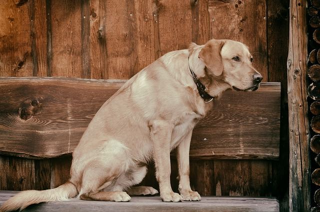 geriatric dog and how to care for them