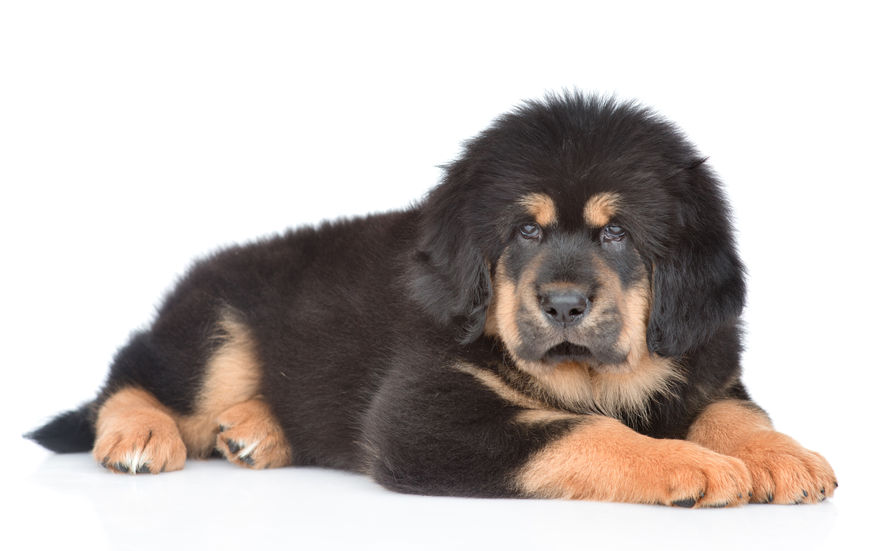 The Most Expensive Dog Breed to Own | FallinPets  |Worlds Most Expensive Cane