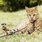 Ashera Cat AKA Savannah Cat