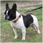 Frenchton Breed Profile