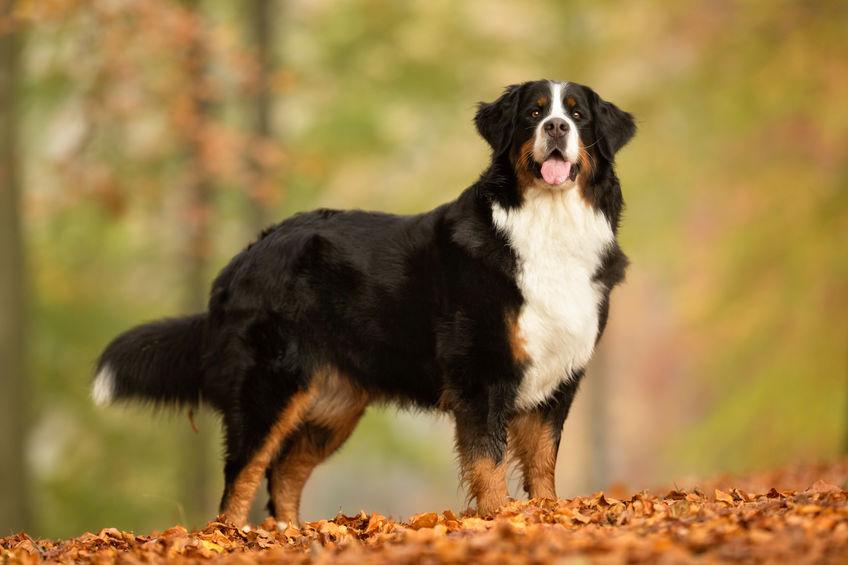 Bernese Mountain Dog Breeds Guide