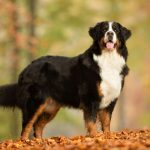 Bernese Mountain Dog Breeds Guide