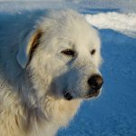 Breed Guide: Great Pyrenees