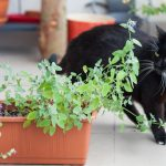 Planting Catnip for Your Cat