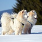 Dog Breeds of Russia
