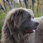 Dog Breeds of Canada