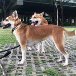 Dog Breeds of Vietnam